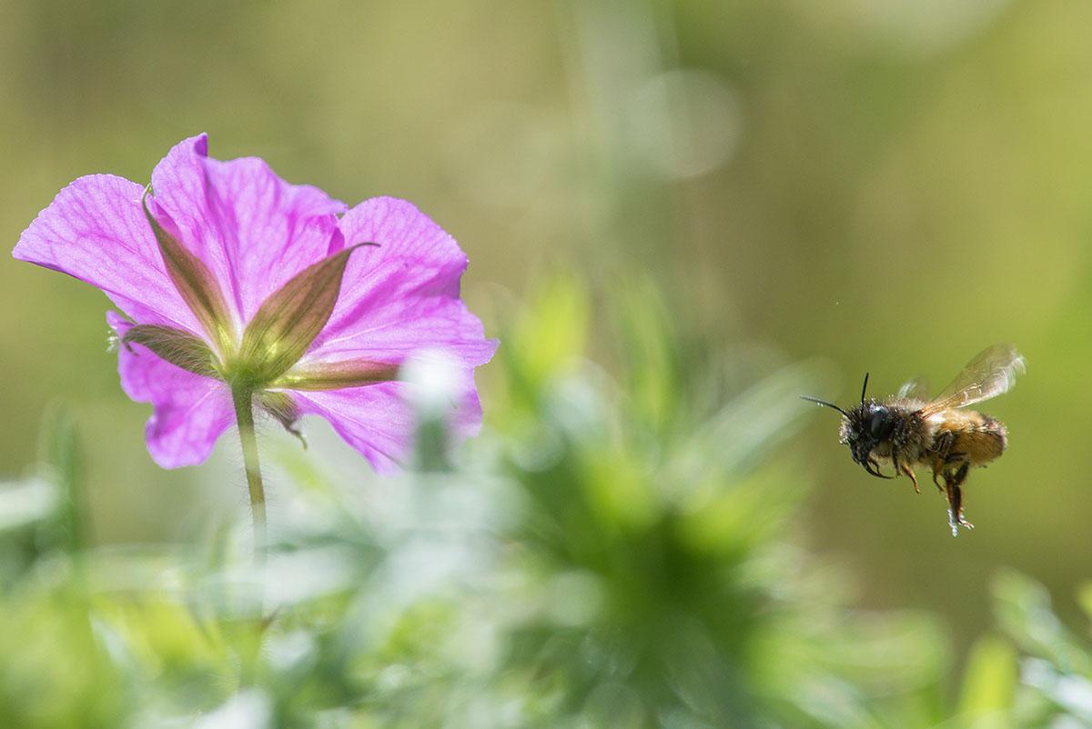 Beispiel: Garten Im eigenen Garten lassen sich viele beeindruckende Fotos machen – wenn er denn attraktiv für Tiere und Pflanzen ist: Geißblatt oder andere heimische Gewächse locken zahllose  Insekten wie Schmetterlinge an – auch Stockrosen oder der häufig angebotene Sommerflieder haben diese Wirkung. Nicht zuletzt bieten Obstbäume für viele Arten wichtige Lebensräume und liefern zudem noch frisches Obst für die/den Fotografen/-in. Ein angelegter Garten- teich lockt darüber hinaus Libellen, Vögel oder sogar Amphibien an (dieses geht am besten,  wenn auf einen Besatz mit Goldfischen oder anderen großen Fischarten verzichtet wird.  Arten wie Moderlieschen, Bitterling – zusammen mit Teichmuscheln oder andere kleinere  Arten sind besser geeignet, wenn man eine artenreiche Teichfauna entstehen lassen möchte). Im Winter können am Futterhaus Vögel beobachtet und fotografiert werden – Nistkästen,  Fledermauskästen oder Insektenhotels erhöhen die Vielfalt im Garten weiter.