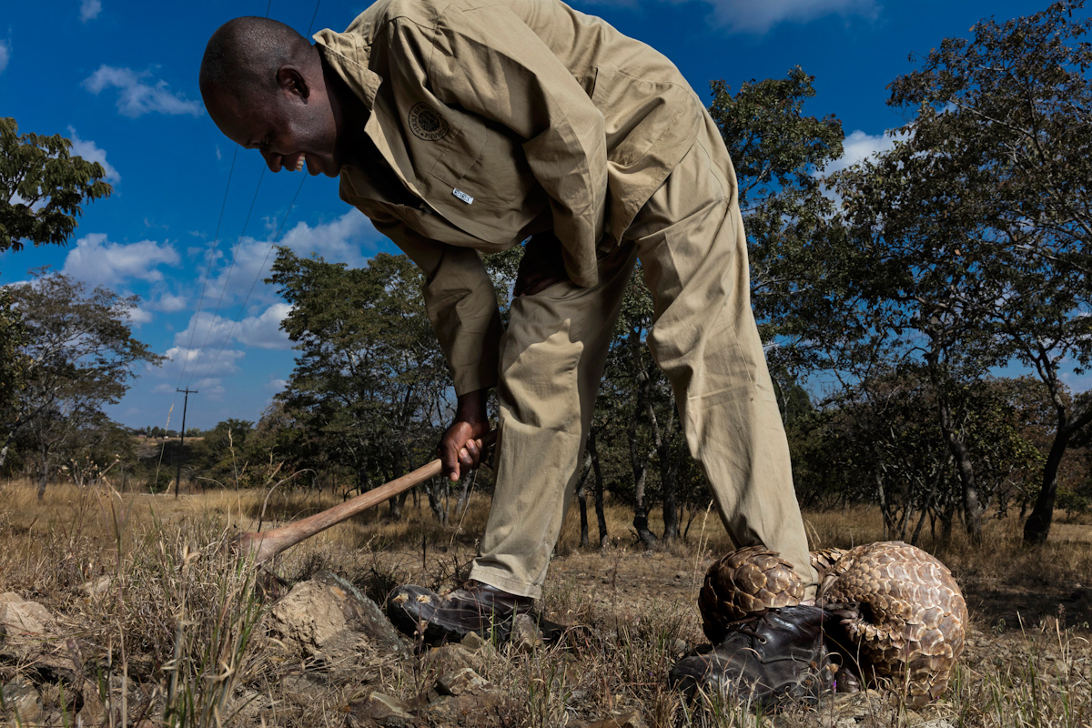 Sieger Profi-Kategorie Natural World & Wildlife: Brent Stirton: »Pangolins in Crisis«