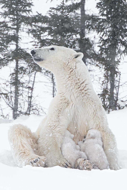 Obwohl die Bärenmutter nun seit vielen Monaten nichts mehr gefressen hat, benötigen die Jungen regelmäßig ihre fettreiche Milch.