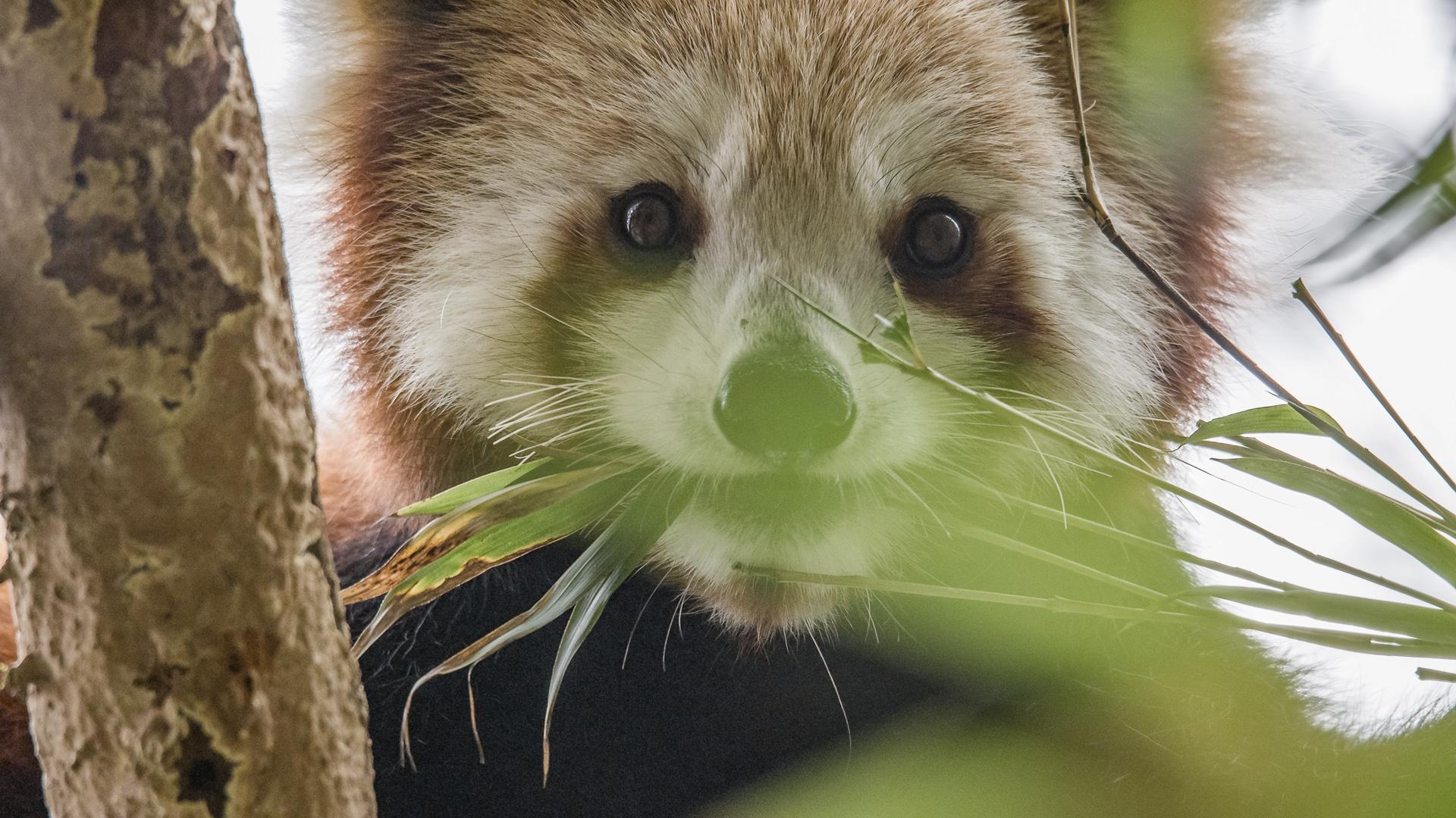 Wenn man sich ruhig und behutsam und möglichst allein einem Roten Panda nähert, lässt sich sein entspanntes Verhalten auch in freier Wildbahn aus nächster Nähe beobachten. Ostnepal.