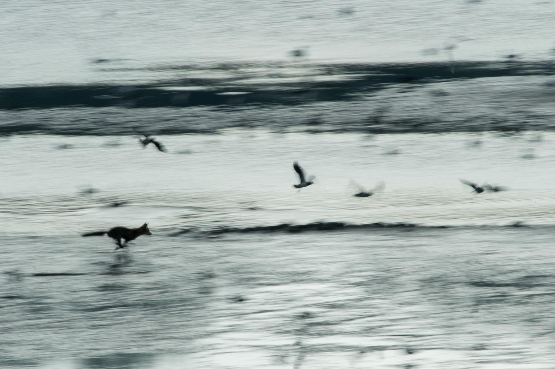 Jagdversuch eines Fuchses auf Kiebitze im seichten Wasser eines Feuchtgebietes, leider erfolglos.