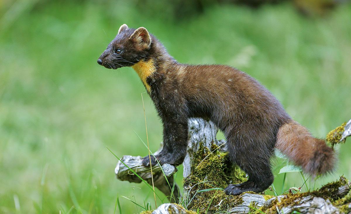 Deutlich scheuer als sein Verwandter, der Steinmarder, bevorzugt der Baummarder möglichst ungestörte Wälder als Lebensraum.