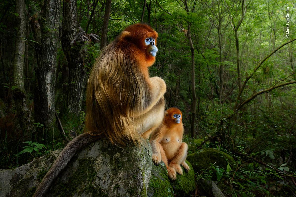 Gesamtsieger: »The Golden Couple«. Das Bild entstand in den Wäldern der chinesischen Qin Ling-Berge, dem einzig verbliebenden Lebensraum für die stark gefährdeten Goldstumpfnasen. Ein Männchen hatte es sich auf einem Felsen gemütlich gemacht, eines der Weibchen aus seiner Gruppe hat sich dazu gesellt. Beide schauen besonders aufmerksam, da sich unten im Tal eine Auseinandersetzung zwischen zwei dominanten Männchen abspielt. Obwohl es die Tiere gewohnt sind, von Forschern beobachtet zu werden, waren sie ständig in Bewegung, was für den Fotografen in dem von tiefen Schluchten und steilen  Hängen geprägten Wäldern eine echte Herausforderung bedeutete. Es dauerte einige Tage, bis Marsel die Gruppendynamik der Tiere verstand und vorhersehen konnte, was als nächsten passieren würde. Und schließlich wurde er mit dieser Situation beschenkt: Ein wunderbarer Wald-Hintergrund mit optimalem Licht, das durch die Baumkrone schien. Ein leichter Blitz unterstrich das leuchtend-goldene Fell des Männchens und ermöglichte dem Fotografen ein perfektes Porträt.
