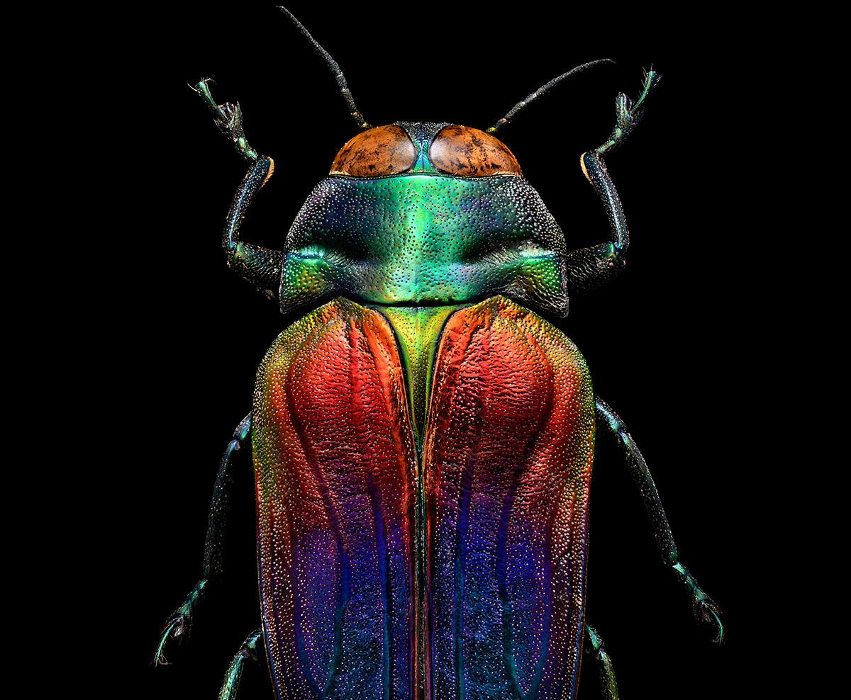 Prachtkäfer (Belionota sumptuosa Caleoptera Buprestidae)