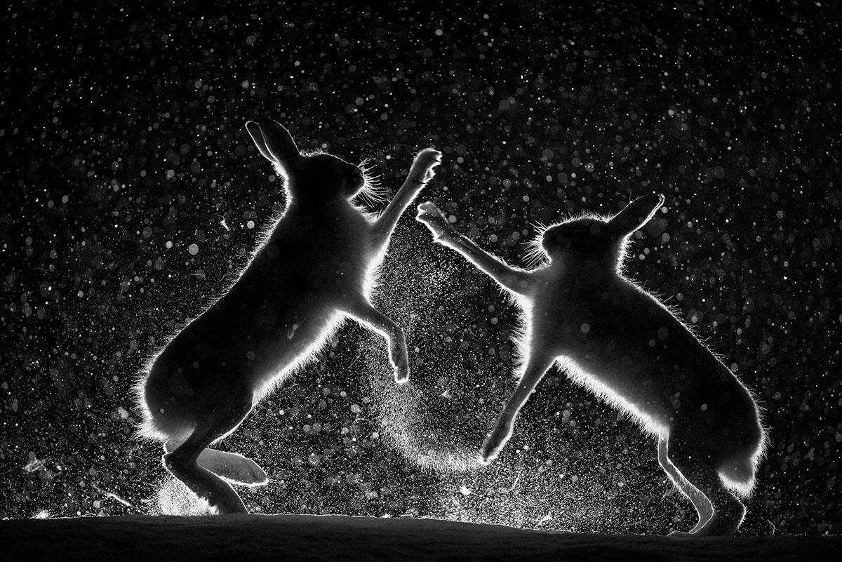 Gesamtsieger: Erlend Haarberg (NO) – «Streit im Schnee» Während der letzten 25 Jahre habe ich sehr viel Zeit damit verbracht, im Frühling Schneehasen in den Berg-Birkenwäldern von Zentral-Norwegen zu fotografieren. Diese Tiere sind nachtaktiv – auch zur Paarungszeit finden die meisten Aktivitäten im Schutz der Dunkelheit statt. Regelmäßig kommt es zu Kämpfen zwischen den Männchen, sei es um Nahrung oder um ein Weibchen, aber bedingt durch die nächtliche Lebensweise kann man dieses Verhalten nur selten beobachten. Ich habe sehr lange versucht, ein Bild wie dieses zu machen, bei dem alles stimmt: Die Hasen nehmen eine perfekte Position ein, und leichter Schneefall unterstreicht die Magie dieses Augenblicks.