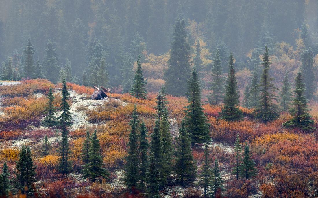 Das Siegerbild des BioPhotoContests 2017 zeigt einen Elch im herbstlichen Denali-Nationalpark in Alaska, aufgenommen von Dag Røttereng aus Norwegen.