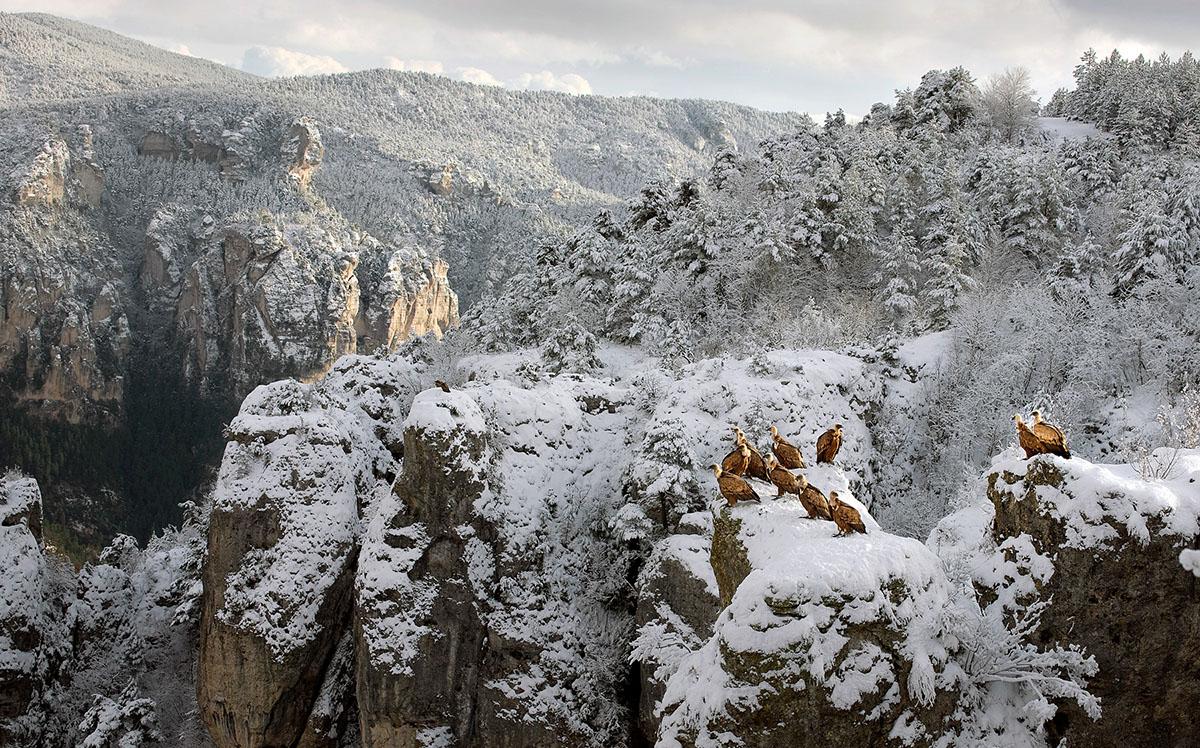 Gänsegeier sammeln sich oberhalb der Schlucht des Tarn.