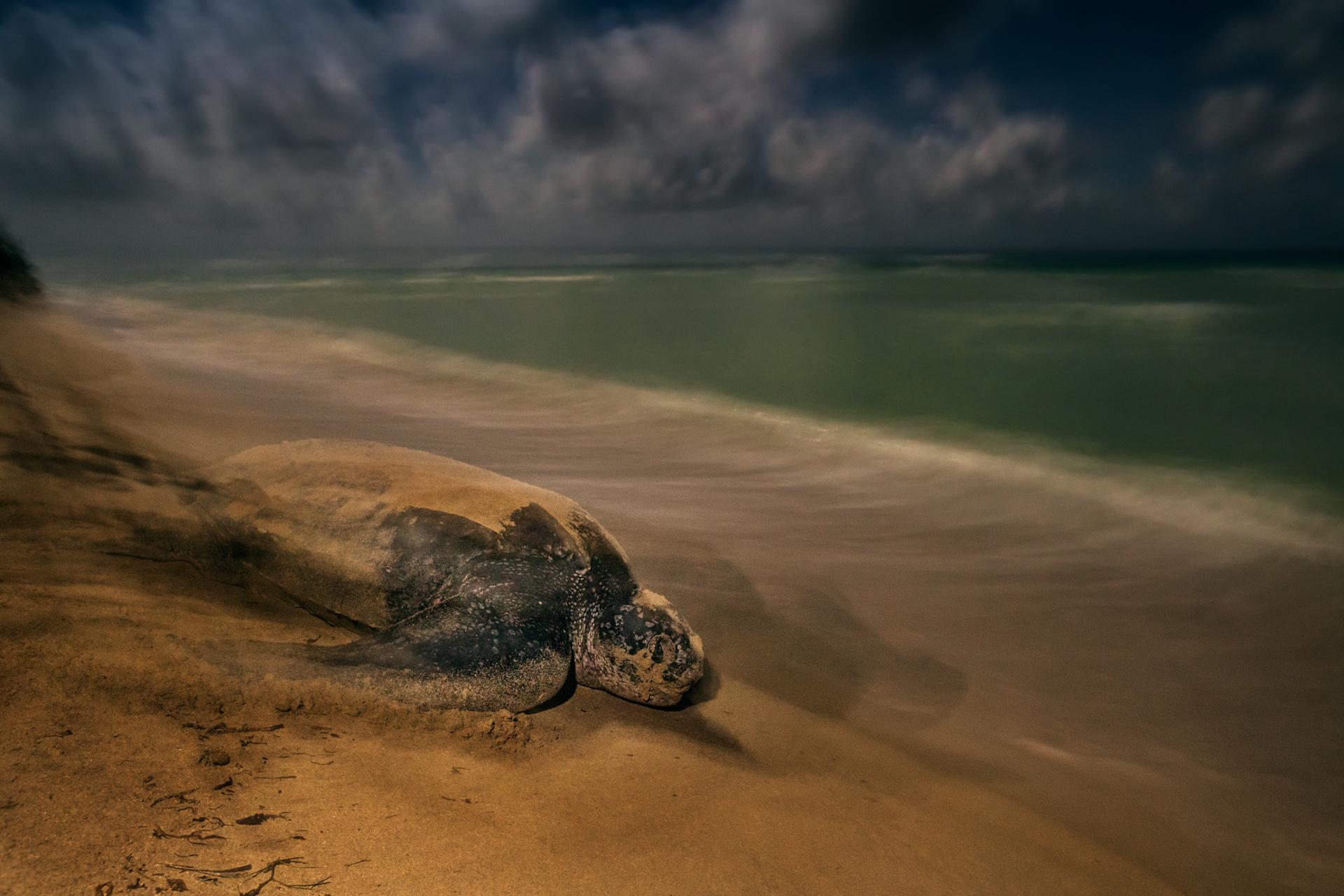 Sieger Kategorie Amphibien & Reptilien: Brian Skerry (USA) »Das altertümliche Ritual« Lederschildkröten sind die größten Meeresschildkröten, die zudem am tiefsten zu tauchen vermögen. Und sie sind die einzigen Überlebenden einer evolutionären Abstammungskette, die sich seit  100 bis 150 Millionen Jahren von den anderen Meeresschildkröten getrennt entwickelt. Das Sandy Point National Wildlife Refuge auf St. Croix (US-Jungferninseln) beherbergt ein Bruthabitat der Tiere, das seit Jahrzehnten erfolgreich unterhalten wird. Andernorts sind die Tiere vor allem durch Fischerei, aber  auch durch Faktoren wie menschlichen Konsum, die Bebauung von Küsten sowie den Klimawandel gefährdet. Jedes Weibchen legt 100 Eier in das tief in den Sand gegrabene Nest. Nach 60 Tagen schlüpfen die Jungen. Ihr Geschlecht wird durch die Nesttemperatur bestimmt (höhere Temperaturen steigern den Anteil der Weibchen). Nicht jeden Abend kamen Weibchen zur Eiablage an den Strand von Sandy Point und wenn, so waren sie oft zu weit entfernt. Nach zwei Wochen schließlich entdeckte er ein Tier in optimaler Entfernung – unter klarem Himmel, ohne Lichter einer Stadt. Er machte im Licht des Vollmonds eine Langzeitbelichtung aus der Hand und kombinierte sie mit einem Warmton-gefilterten Blitzlicht, um so eine archaische Stimmung in dieser zeitlosen Szene zu erzeugen.