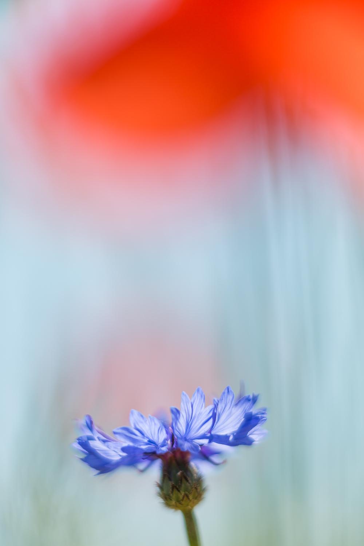 Zwei typische »Ackerunkräuter«: Klatschmohn und Kornblume. Hier habe ich eine der großen Mohnblüten im Vordergrund als markanten Farbakzent ins Bild einbezogen. Das 135 mm-Tele sorgt bei offener Blende dafür, dass lediglich eine weich verlaufene rote Fläche im Bild erkennbar wird, die wiederum einen schönen Kontrast zum Blau der Kornblume bietet. Gezielte Überbelichtung bringt viel Licht ins Bild und sorgt insgesamt für zarte, etwas blasse Farbtöne.